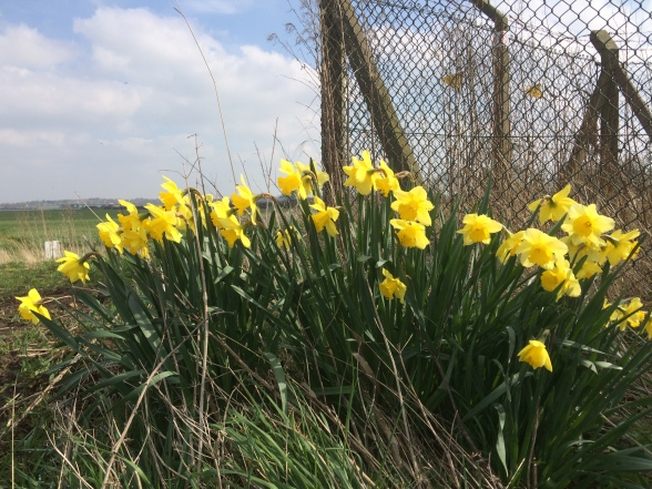 Daffodils by a wire fence