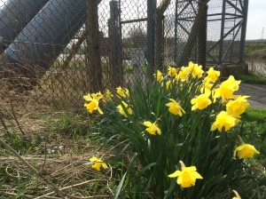 Daffodils by a gas pipeline