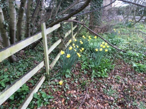 daffodils by a fence